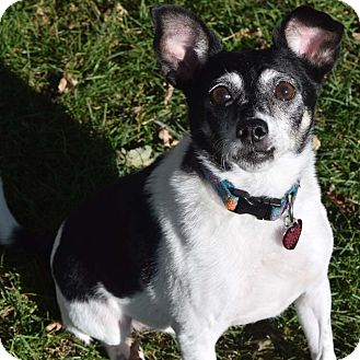 Rat Terrier Mix Dog for adoption in Minneapolis, Minnesota - Pepper