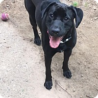 Labrador Retriever Mix Dog for adoption in Mantua, New Jersey - Lily
