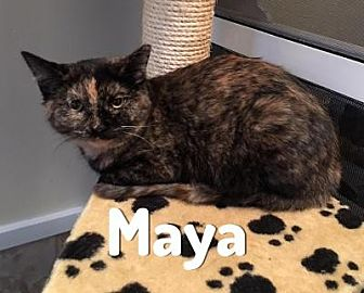 Domestic Shorthair Cat for adoption in Pittsburgh, Pennsylvania - Maya