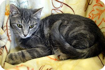 Domestic Shorthair Cat for adoption in Richmond, Virginia - Dexter
