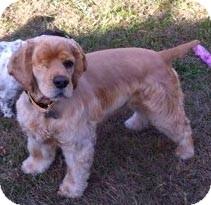 Cocker Spaniel Mix Dog for adoption in Sugarland, Texas - JD