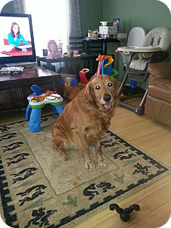 Golden Retriever Dog for adoption in New Canaan, Connecticut - Cooper