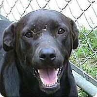 Labrador Retriever/Boxer Mix Dog for adoption in Tyler, Texas - AA-Harrison