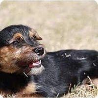 Adopt A Pet :: Lasagne - Broomfield, CO
