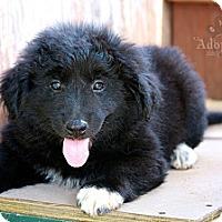 Adopt A Pet :: Hans - Albany, NY