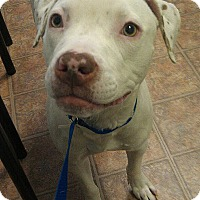 Pointer/American Pit Bull Terrier Mix Dog for adoption in levittown, New York - SCRAPPY