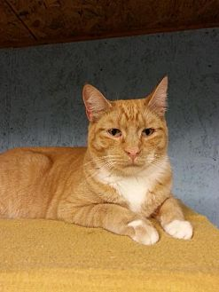 Domestic Shorthair Cat for adoption in Brainardsville, New York - Aiden