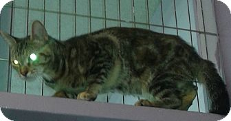 Bengal Cat for adoption in Whittier, California - Bells