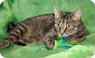 Domestic Shorthair Cat for adoption in Marietta, Ohio - Willow (Spayed)