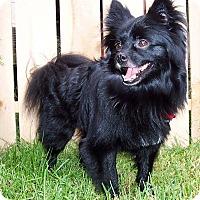 Adopt A Pet :: Shadow-Adoption pending - Bridgeton, MO