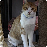 Domestic Shorthair Cat for adoption in Joplin, Missouri - Ozzie