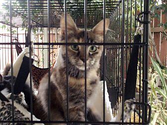 Calico Kitten for adoption in Monrovia, California - Jojo