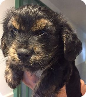 Spaniel (Unknown Type) Mix Puppy for adoption in Canoga Park, California - Goldie's Puppies!