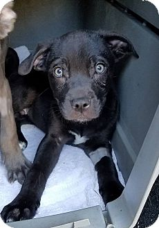 Pit Bull Terrier Mix Puppy for adoption in Gainesville, Florida - Keane