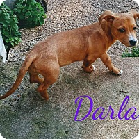 Adopt A Pet :: Darla - House Springs, MO