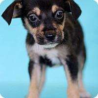 Adopt A Pet :: Simba - Waldorf, MD