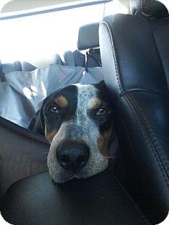 Bluetick Coonhound Dog for adoption in Schererville, Indiana - Mulligan (Mully)