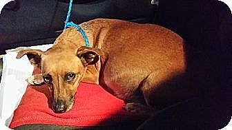 Dachshund/Chihuahua Mix Dog for adoption in West Palm Beach, Florida - Zune