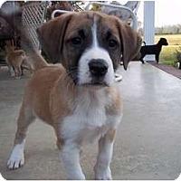 Adopt A Pet :: Bo (pending) - Adamsville, TN