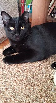 Manx Cat for adoption in Des Moines, Iowa - TRIXIE