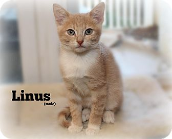 Domestic Shorthair Kitten for adoption in Glen Mills, Pennsylvania - Linus