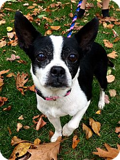 Boston Terrier Mix Dog for adoption in Manchester, Connecticut - Betty in CT