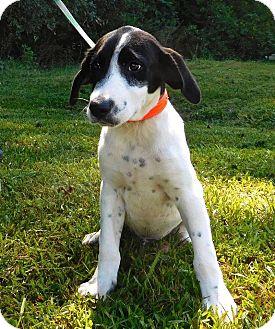 Hound (Unknown Type)/Cattle Dog Mix Puppy for adoption in St. Francisville, Louisiana - Bingo
