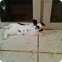 Adopt A Pet :: Oreo - Palm Coast, FL