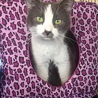 Domestic Shorthair Cat for adoption in Freeport, New York - Viola