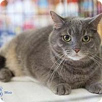 Adopt A Pet :: Moo - Merrifield, VA