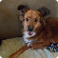 Adopt A Pet :: Ginger - La Habra, CA