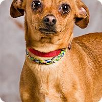 Adopt A Pet :: Hercules - DRD Graduate - Owensboro, KY