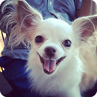 Chihuahua Dog for adoption in Chicago, Illinois - Minnie