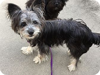 Terrier (Unknown Type, Small) Mix Dog for adoption in Overland Park, Kansas - Ellie