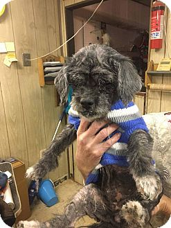 Shih Tzu Dog for adoption in Media, Pennsylvania - Lulu