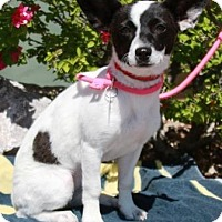 Adopt A Pet :: Peppermint - Gilbert, AZ