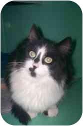 Domestic Mediumhair Cat for adoption in Markham, Ontario - Stella