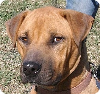 Black Mouth Cur/Staffordshire Bull Terrier Mix Dog for adoption in Groton, Massachusetts - Fremont
