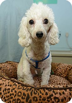 Miniature Poodle Dog for adoption in New York, New York - Nicholas