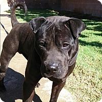 Adopt A Pet :: Diesel - pending - Mira Loma, CA