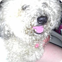 Poodle (Miniature) Dog for adoption in Pasadena, Maryland - Curly