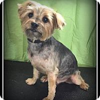 Adopt A Pet :: Scottie - Indian Trail, NC