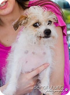 Maltese/Papillon Mix Dog for adoption in Corona, California - Isabella beautiful fluffy girl