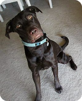 Labrador Retriever Dog for adoption in Phoenix, Arizona - Rusty
