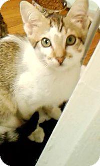 Siamese Kitten for adoption in New York, New York - Tad (Thaddeus)