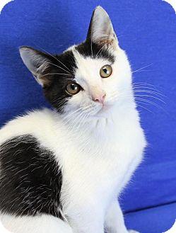 Domestic Shorthair Kitten for adoption in Winston-Salem, North Carolina - Finnegan