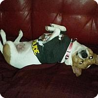 Adopt A Pet :: Lola in Austin - San Antonio, TX