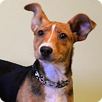Terrier (Unknown Type, Medium)/Rat Terrier Mix Dog for adoption in Westport, Connecticut - Rizzo