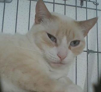 Domestic Shorthair Cat for adoption in Orange City, Florida - Blondie