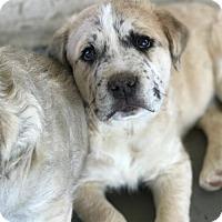 Adopt A Pet :: Milo - Crestline, CA